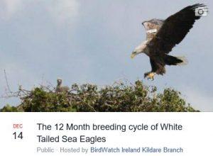 White tailed sea eagles 2017_1214